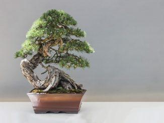 Pěstujeme bonsaj