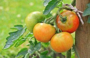 Jak zužitkovat zelená rajčata ze zahrady