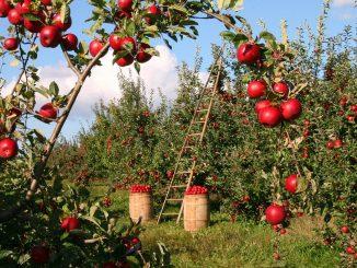 Jablka – proč je často jíst?